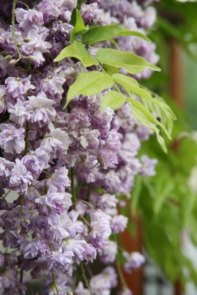 Глициния обильноцветущая, сорт 'Violacea Plena'