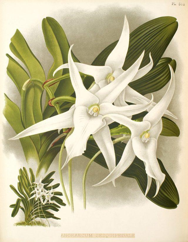 Ангрекум полуторафутовый (Angraecum sesquipedale). Ботаническая иллюстрация из книги Warner Robert, Williams Henry. The Orchid Album. 1897