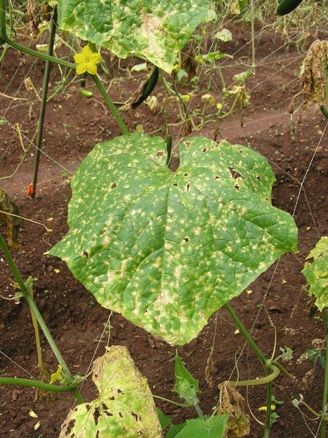 Антракноз на листьях огурца
