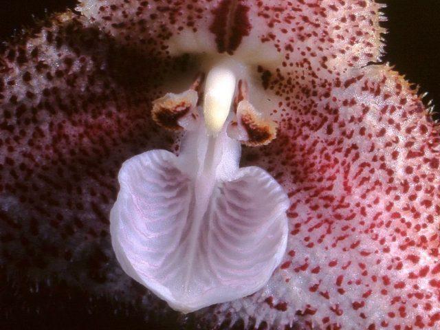 Дракула Полифема (Dracula polyphemus).Строение цветка: пятнистый капюшон на заднем плане — сросшиеся чашелистики; бледно-лиловое образование с прожилками — губа (видоизменённый лепесток); два небольших крылышка выше — еще два лепестка; образование, находящееся между ними — колонка (андроцей, сросшийся с гинецеем)