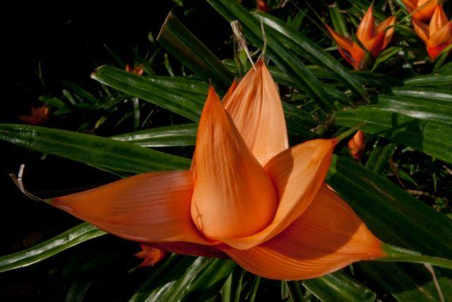 Фрейсинетия Куминга (Freycinetia cumingiana Gaudich)