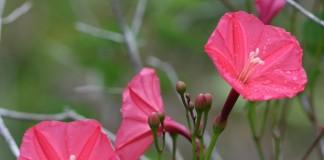 Ипомея (Ipomoea microdactyla)