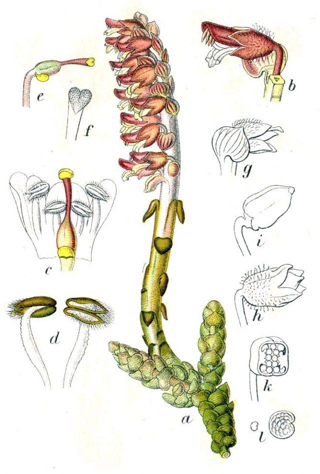 Петров крест чешуйчатый (Lathraea squamaria) Ботаническая иллюстрация Якоба Штурма из книги Deutschlands Flora in Abbildungen, 1796