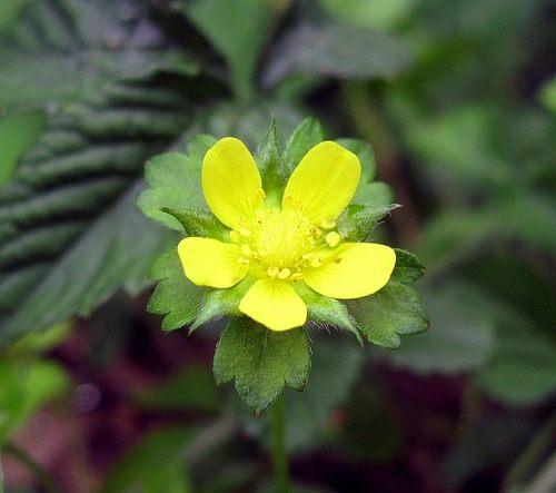 Клубника с желтыми цветами фото и названия