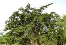Анчар — дерево смерти