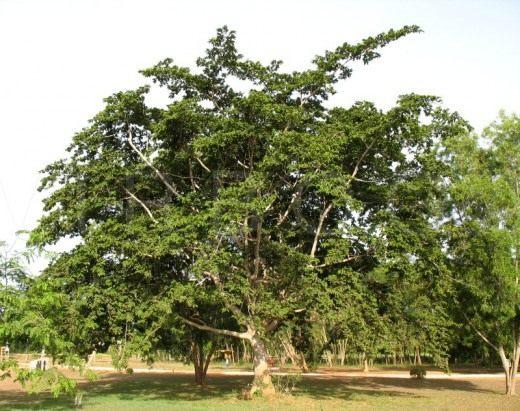 Антиарис Токсикария (Antiaris toxicaria).