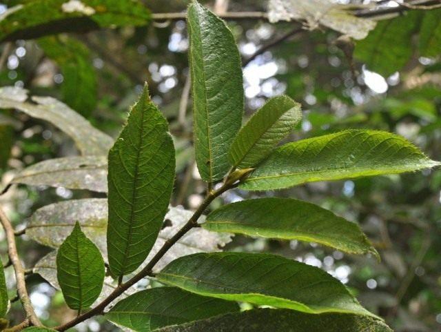 Листья Анчара ядовитого