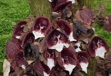Ситцевый цветок Кирказона