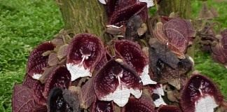 Кирказон древовидный (Aristolochia arborea)