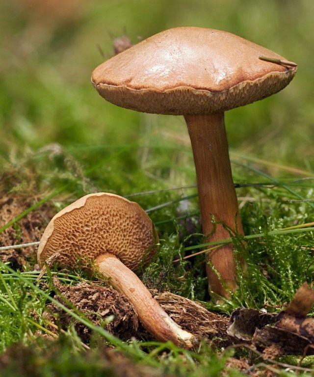 Перечный гриб, или маслёнок перечный (Chalciporus piperatus)