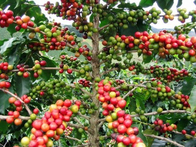 Кофе (Coffea)