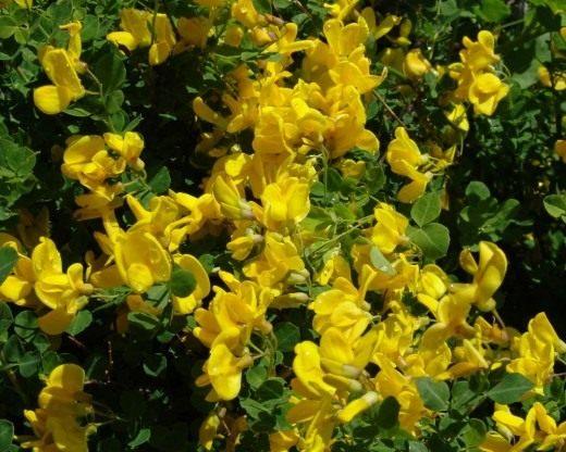 Ракитник сидячелистный (Cytisus sessilifolius syn. Cytisophyllum sessilifolium)