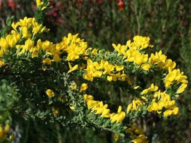 Ракитник стелющийся (Cytisus decumbens)