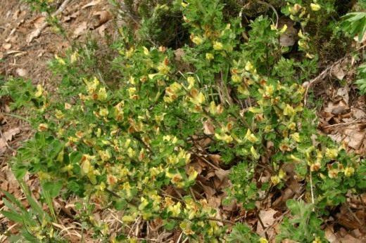 Ракитник скученный (Cytisus aggregatus syn. Cytisus hirsutus)