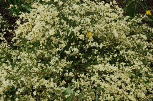 Ракитник кьюсский (Cytisus kewensis)