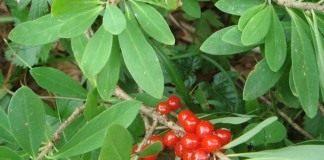 Волчеягодник обыкновенный (Daphne mezereum)