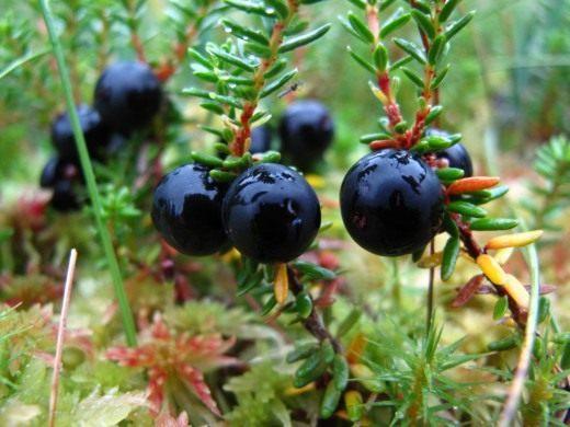 Водяника чёрная, или черноплодная, или шикша (Empetrum nigrum)