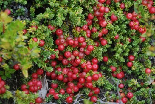 Водяника красная (Empetrum rubrum)