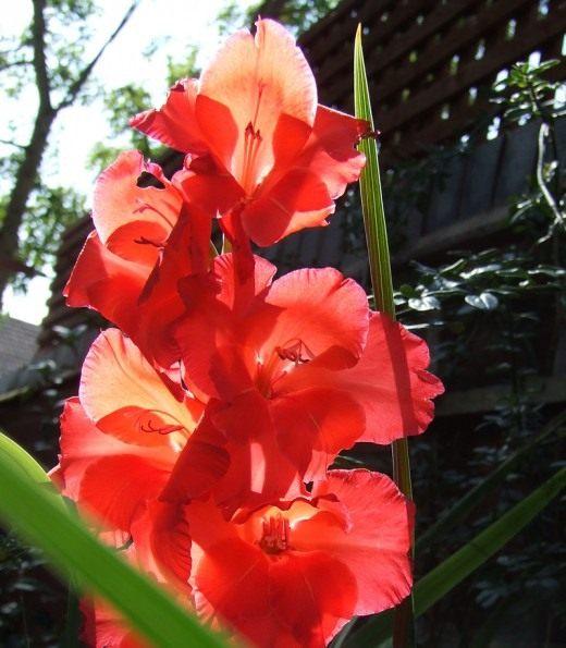 Цветы как гладиолусы только маленькие — photo 1
