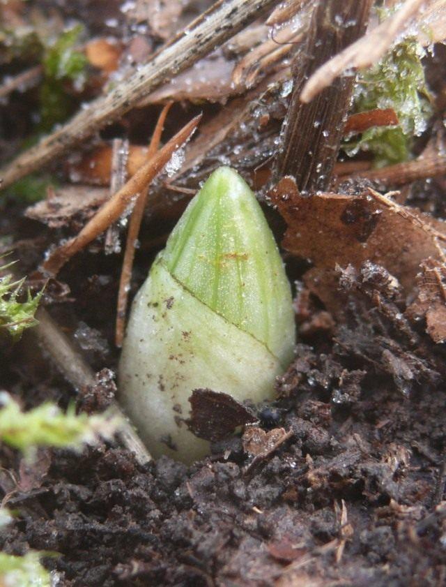Венерин башмачок (Cypripedium calceolus)