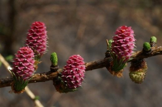 Цветение лиственницы