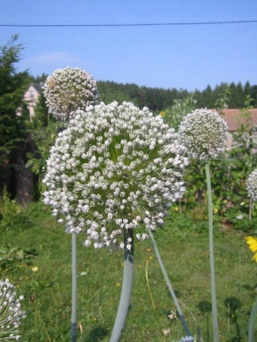 Соцветия лука-порея