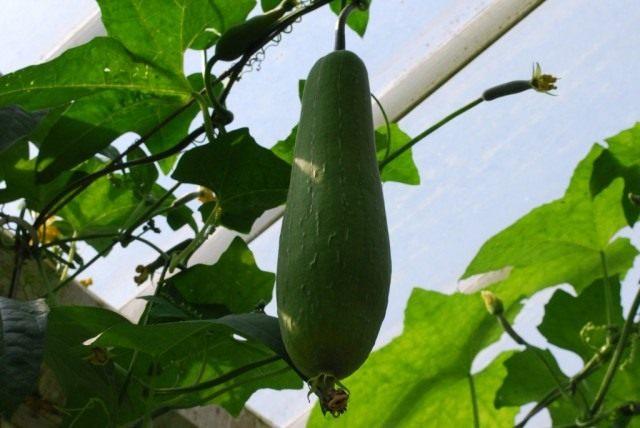 Плод Люффы