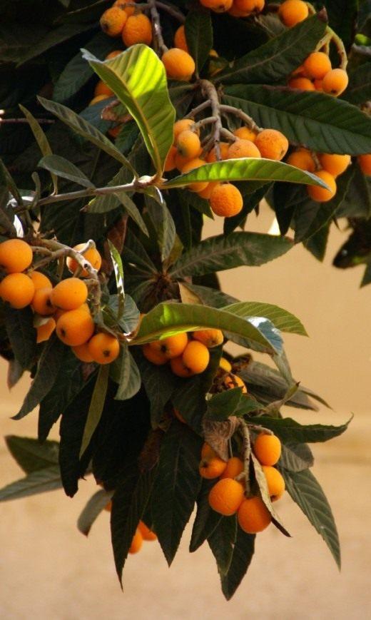 Плоды мишмулы