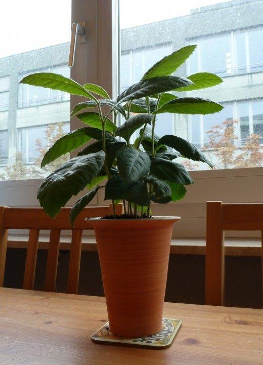 Эриоботрия японская, или Мушмула японская, или Локва, или Шeсек (Eriobotrya japonica)