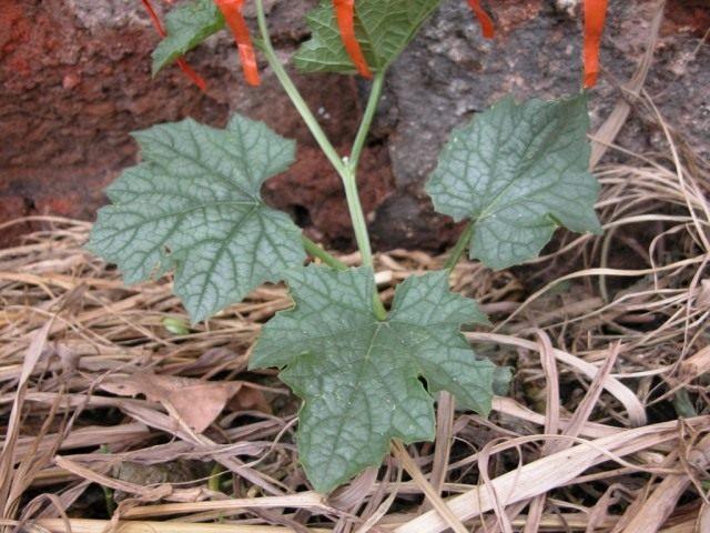 Люффа, листья