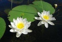 Кувшинка, водяная лилия (Nymphaéa)
