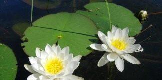 Кувшинка снежно-белая, или чистобелая, или белоснежная (Nymphaea candida)