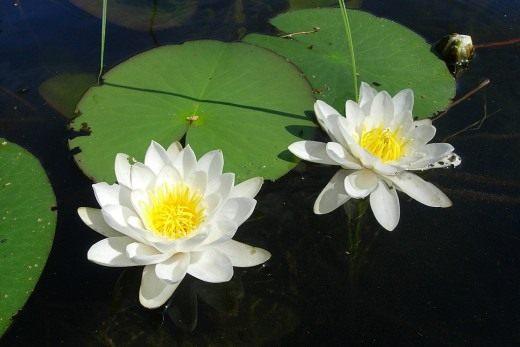 Как украсить искусственный водоем водными растениями