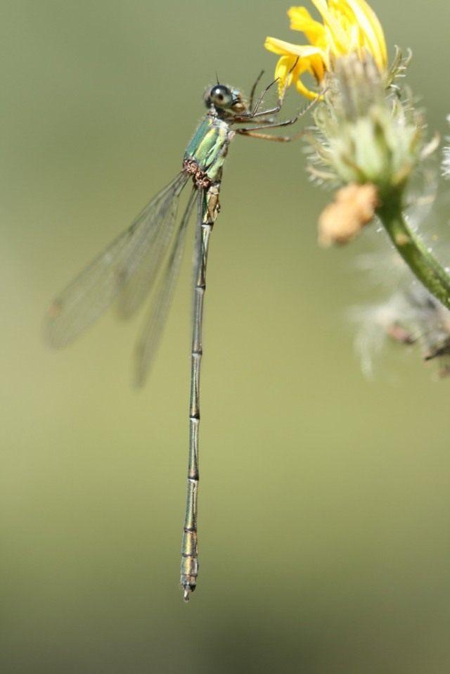Стрекоза (Odonata)