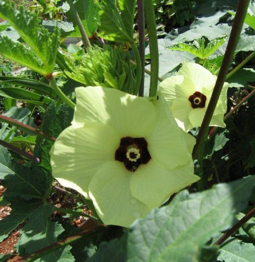 Цветок Бамии