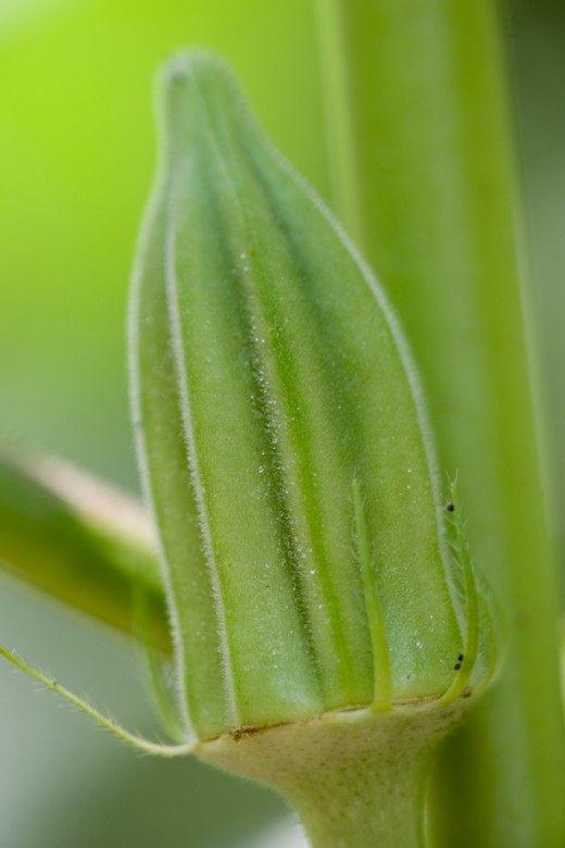 Бамия (Abelmoschus esculentus)