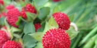 Лапчатка индийская (Potentilla indica), устаревшие названия — дюшенея, или индийская земляника, или ложная земляника (Duchesnea indica)
