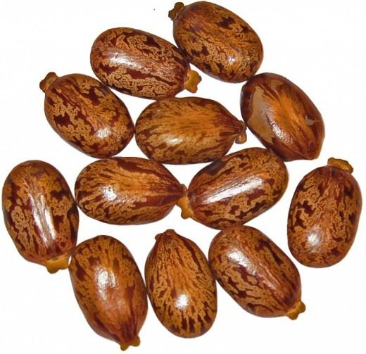 Семена Клещевины обыкновенной
