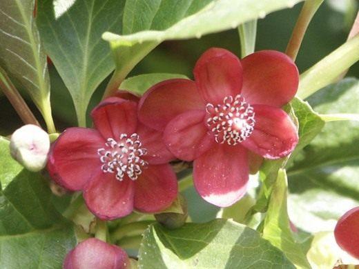 Лимонник красноцветковый (Schisandra rubriflora)
