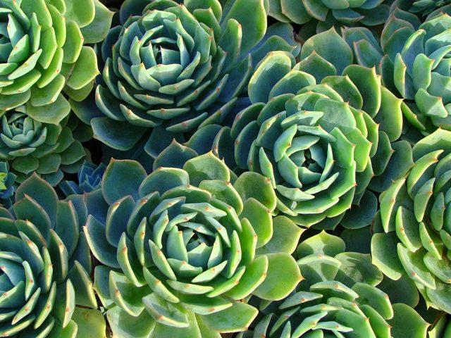 Каменный цветок Эчеверии