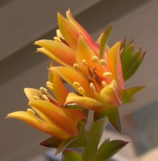 Эхеверия многостебельная (Echeveria multicaulis)