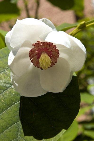 Белый ядовитый цветок 7 букв сканворд