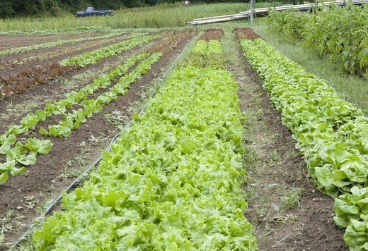 Посев и уход салат