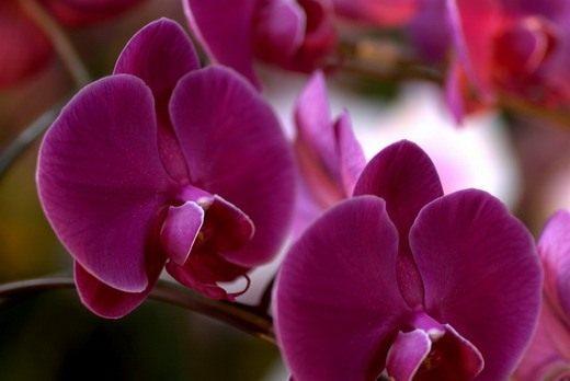 Орхидея фаленопсис. Уход, выращивание, размножение ...: http://www.botanichka.ru/blog/2010/07/14/phalaenopsis/