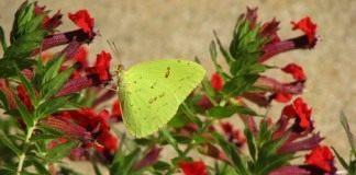 Куфея (Cuphea roseana)