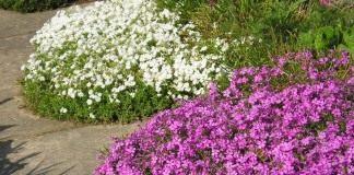 Флокс шиловидный, белый и розовый