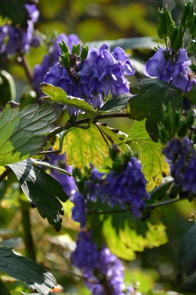 Борец Хемсли, или Аконит Хемсли (Aconitum Hemsleyanum)