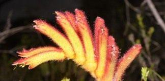 Анигозантос низкий, или Кошачья лапка (Anigozanthos humilis)