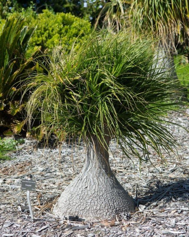 Бокарнея отогнутая (Beaucarnea recurvata), или Нолина отогнутая (Nolina recurvata)