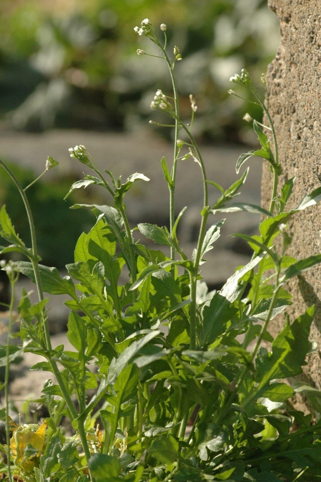 b4fe3849c948 Пастушья сумка обыкновенная, или Сумочник пастуший (Capsella bursa-pastoris)